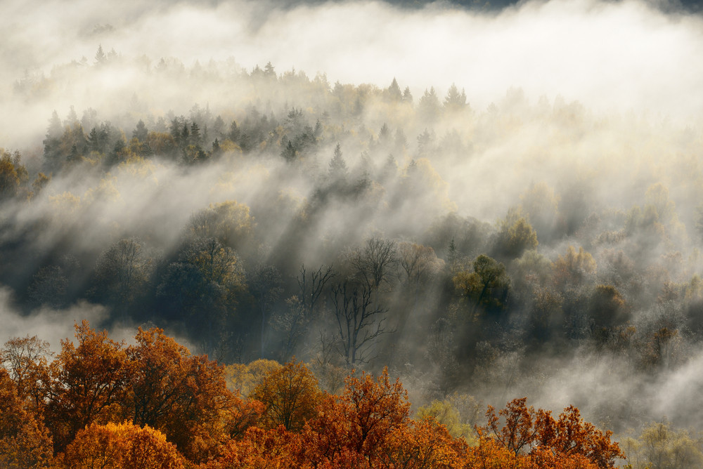 Colorful Forest Hills Covered With Mist In Autumn. Sigulda