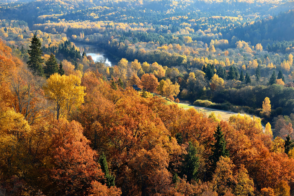 Colorful Forest Hills In Fall. Sigulda