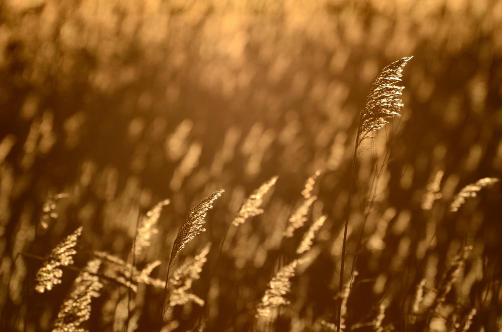Phragmites Plant At The Sunrise