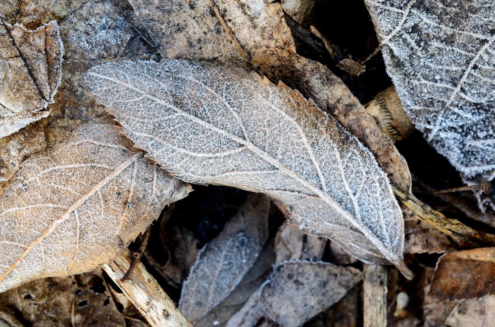 Hoar-frost On Leaves
