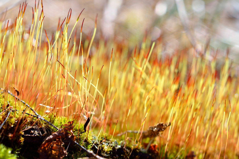 Close-up Of A Colorful Moss With Spores
