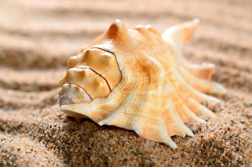 Sea Shell On The Sandy Beach