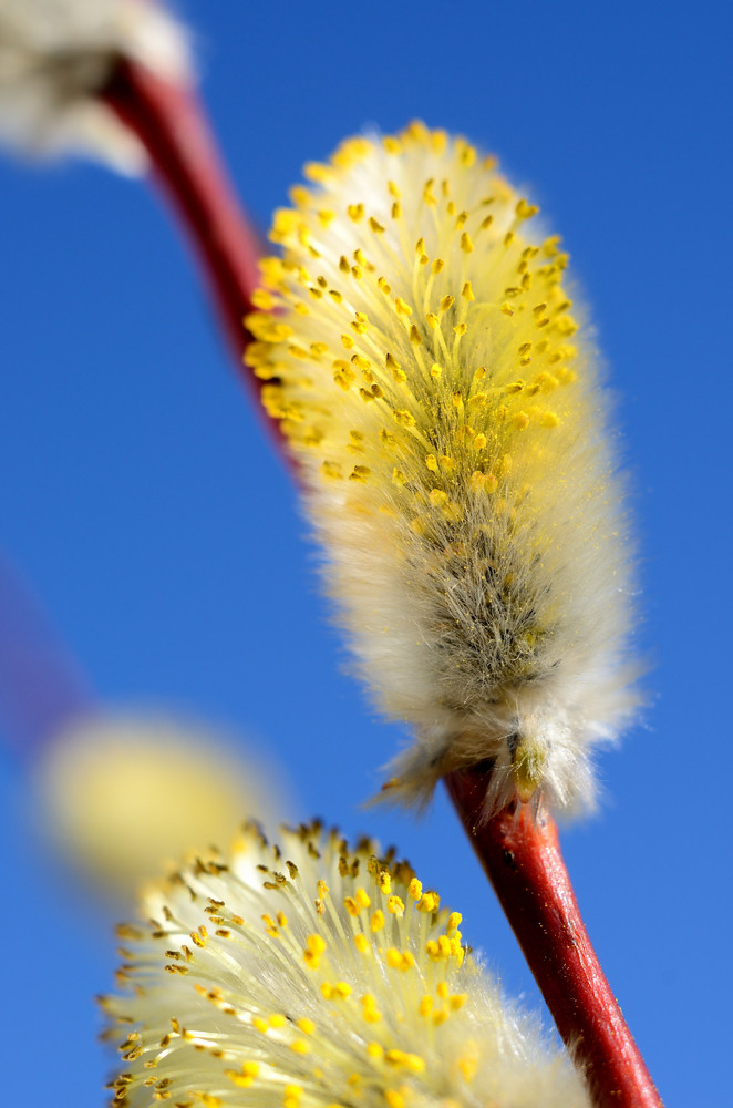 Blooming Willow Twig Close-up Against Blue Sky