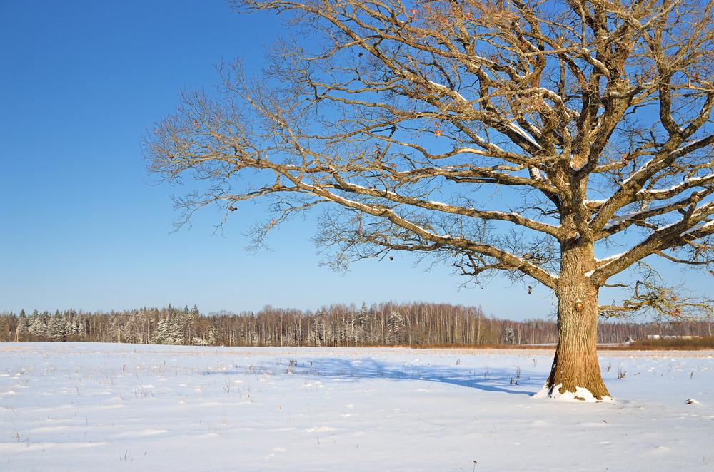 Lonely Oak Tree In The Field In Winter