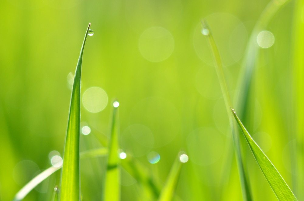 Fresh Green Grass With Water Drops Close-up