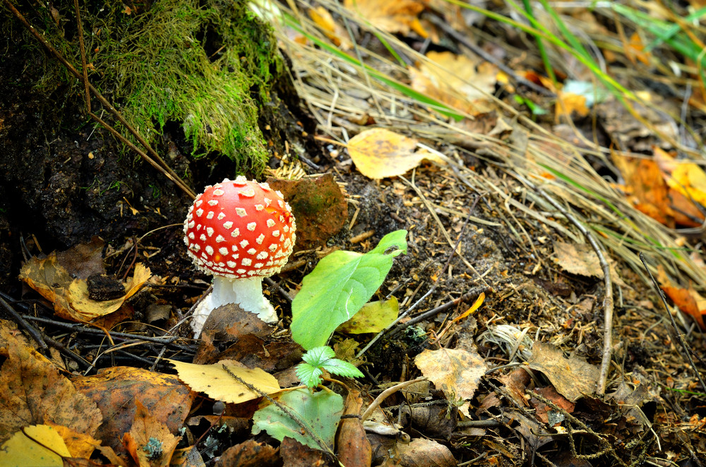 Agaric Mushroom. Toadstool In Forest
