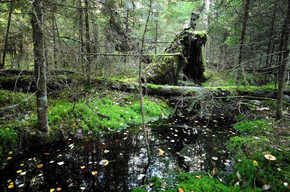 Small River In A Dark Pine Forest Scene