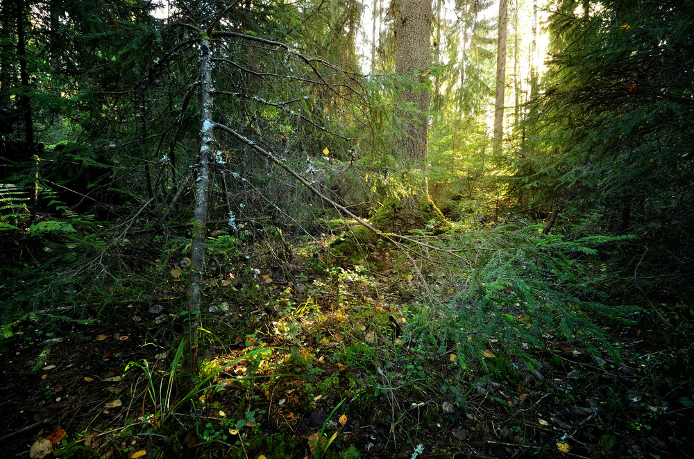 Sunbeam In A Dark Pine Forest Scene