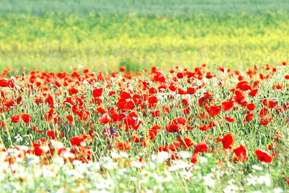 A Poppy Field In Latvia