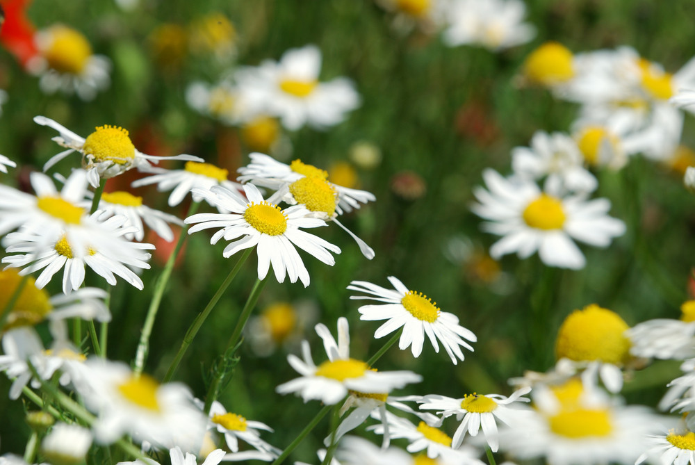 Fragment Of A Camomile Field With Flowers