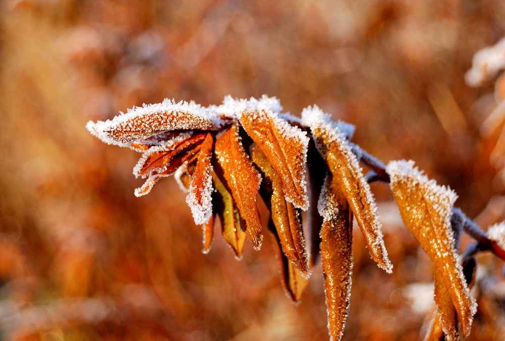 Autumn Leaves With Hoar Frost