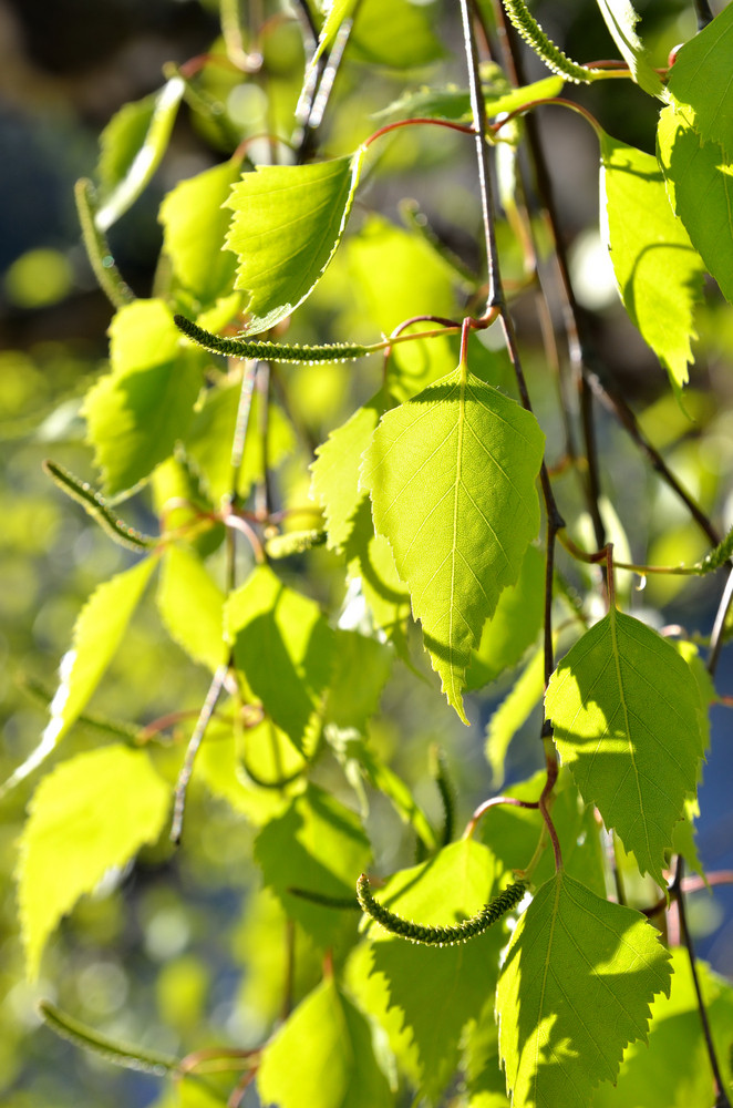 Birch Tree Leaves Close-up In Spring