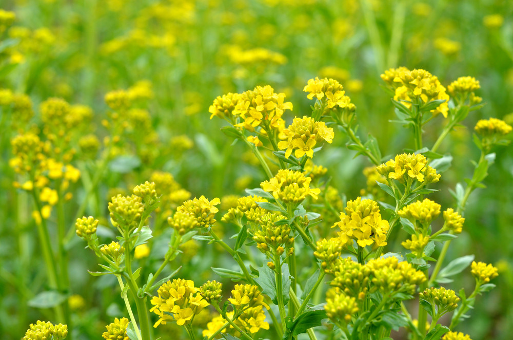 Rapeseed Field Fragment. Flowers Close-up