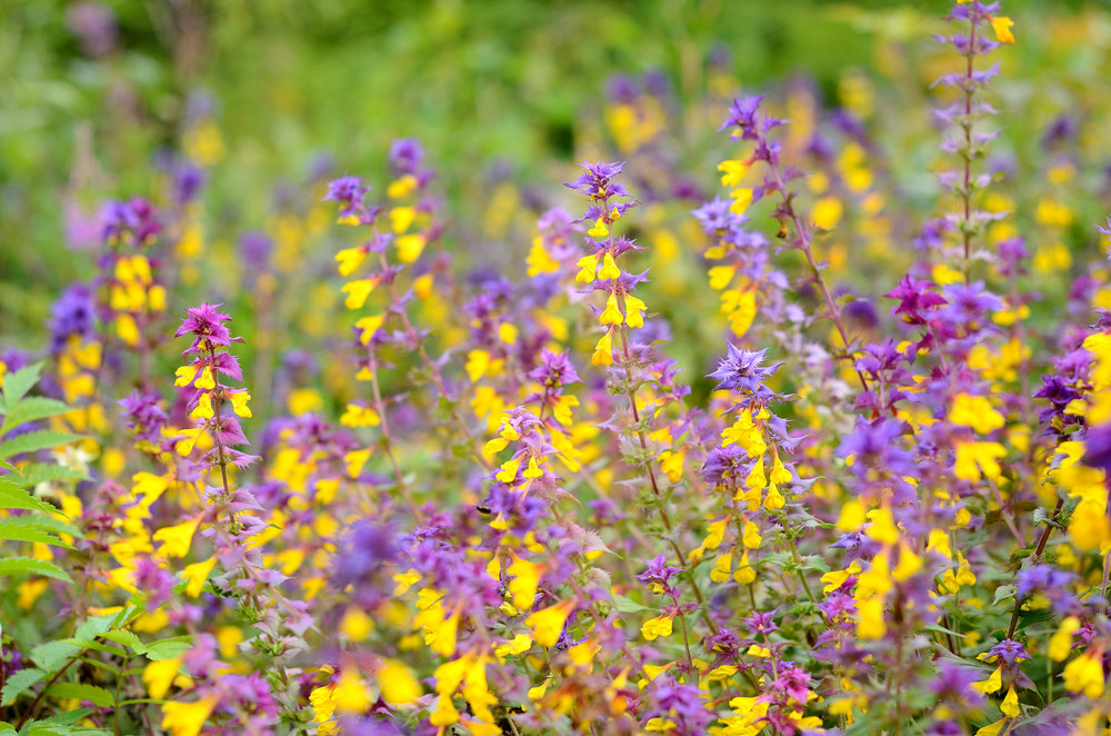 Forest Flower Melampyrum Nemorosum