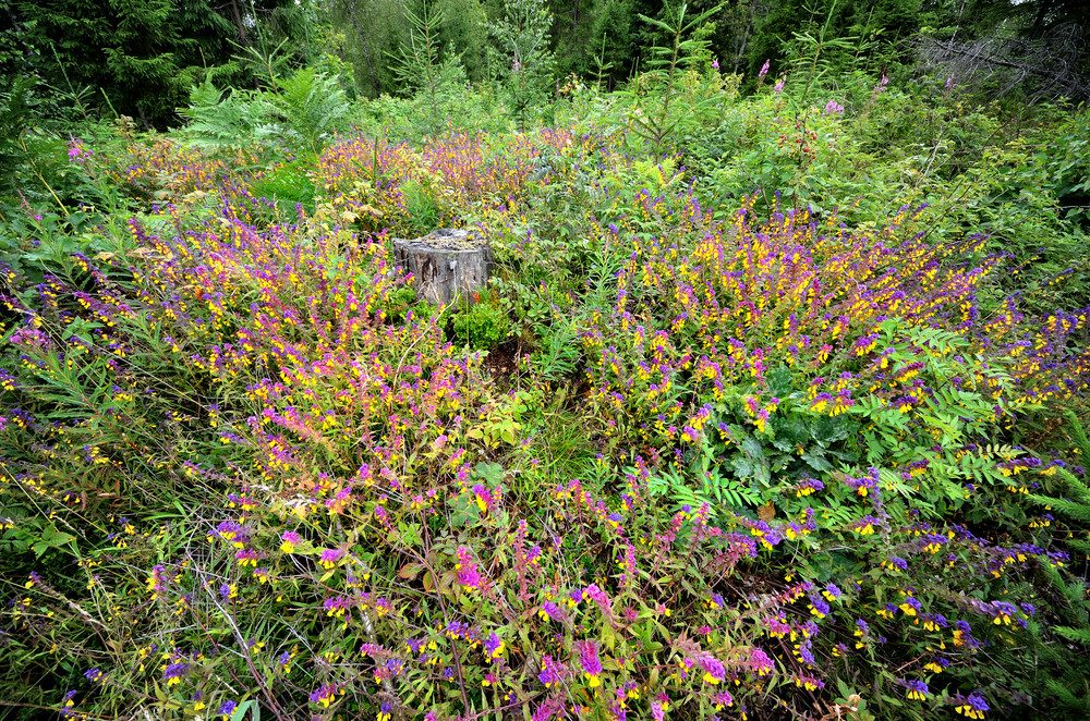 Forest Flowers Melampyrum Nemorosum