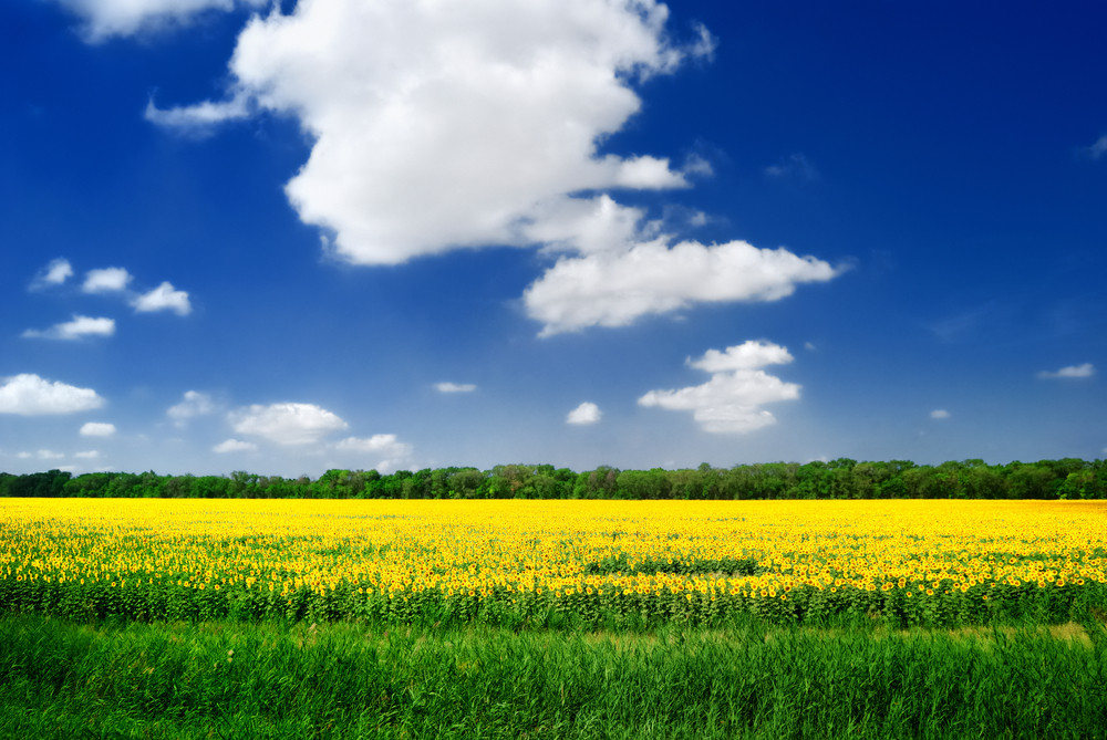 Sunflowers Field In Russia