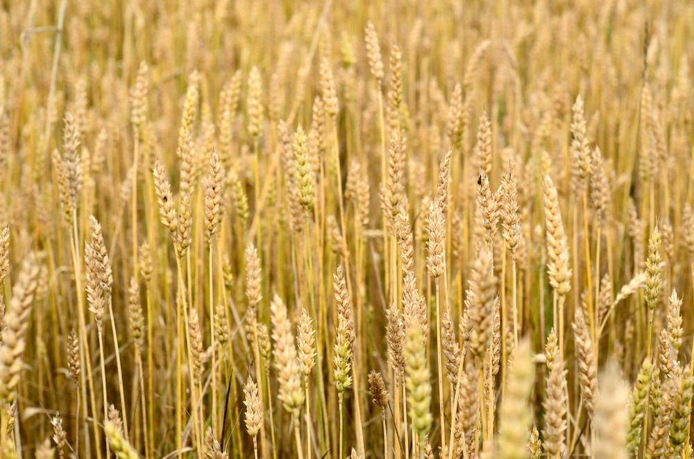 Wheat Field Close-up