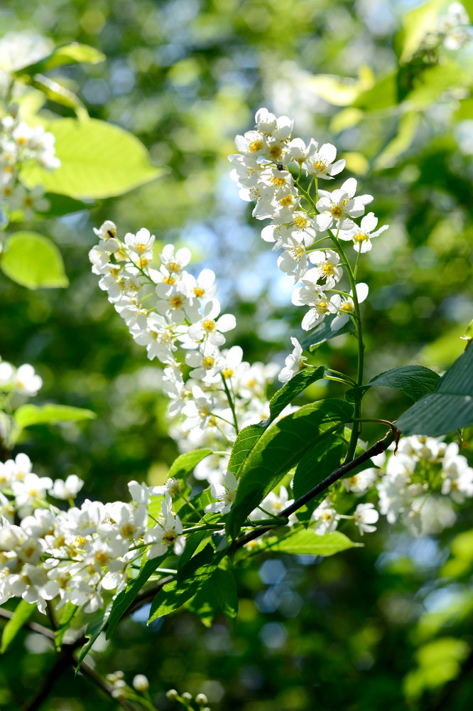 Hackberry Flowers Close-up. Shallow Depth Of Field