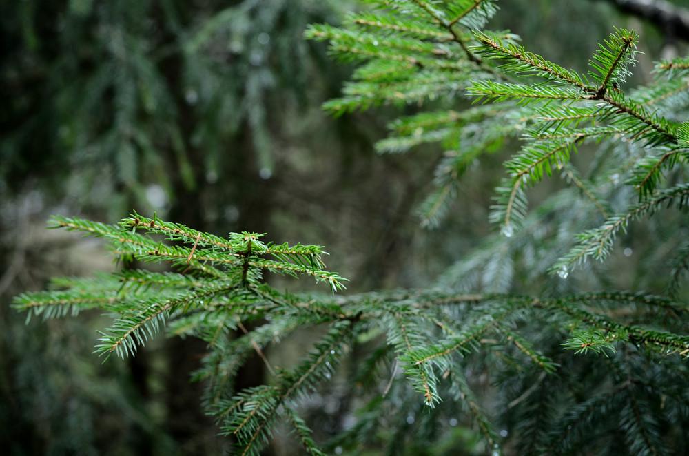 Pine Tree Close-up