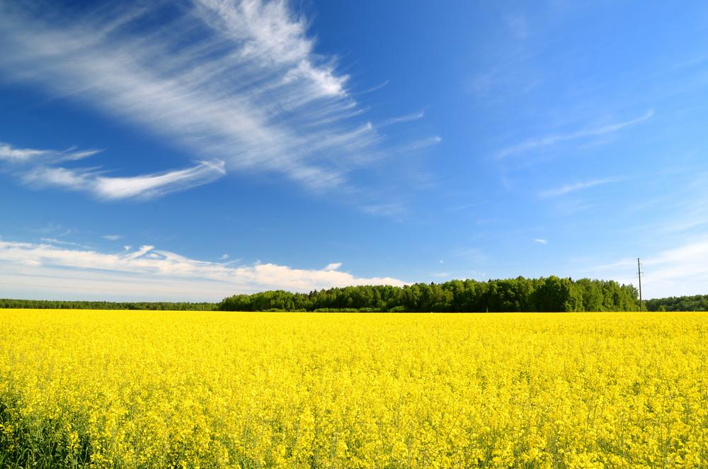 Rural Landscape. Yellow Field In Latvia