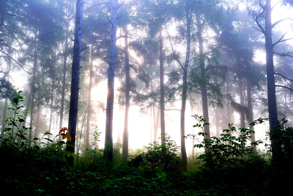 A Forest With Fog And Shining Behind Trees