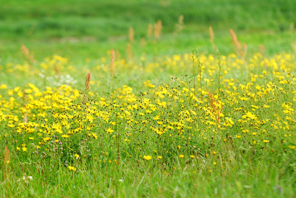 Fragment Of A Field With Flowers