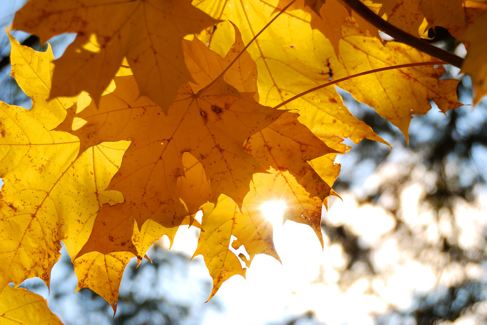 Yellow Tree Leaves Close-up In Fall Season. Shallow Depth Of Field