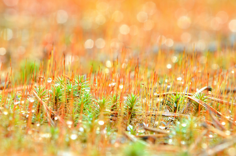 Colorful Red Moss Spores Close-up In The Forest