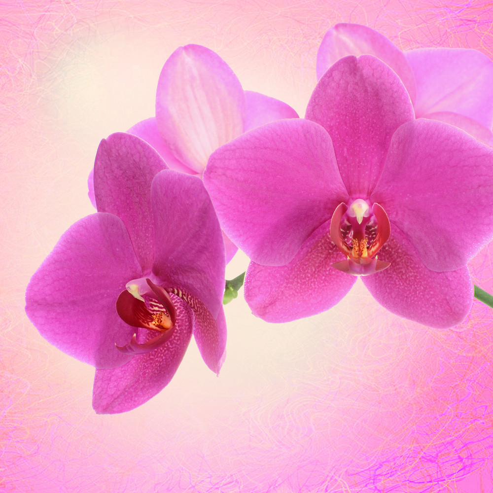 Dark Pink Orchid Flower Close Up Isolated On White Royalty Free