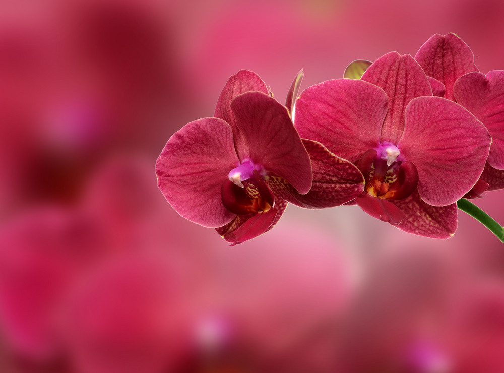 Pink Orchid Flower Close-up Isolated On White