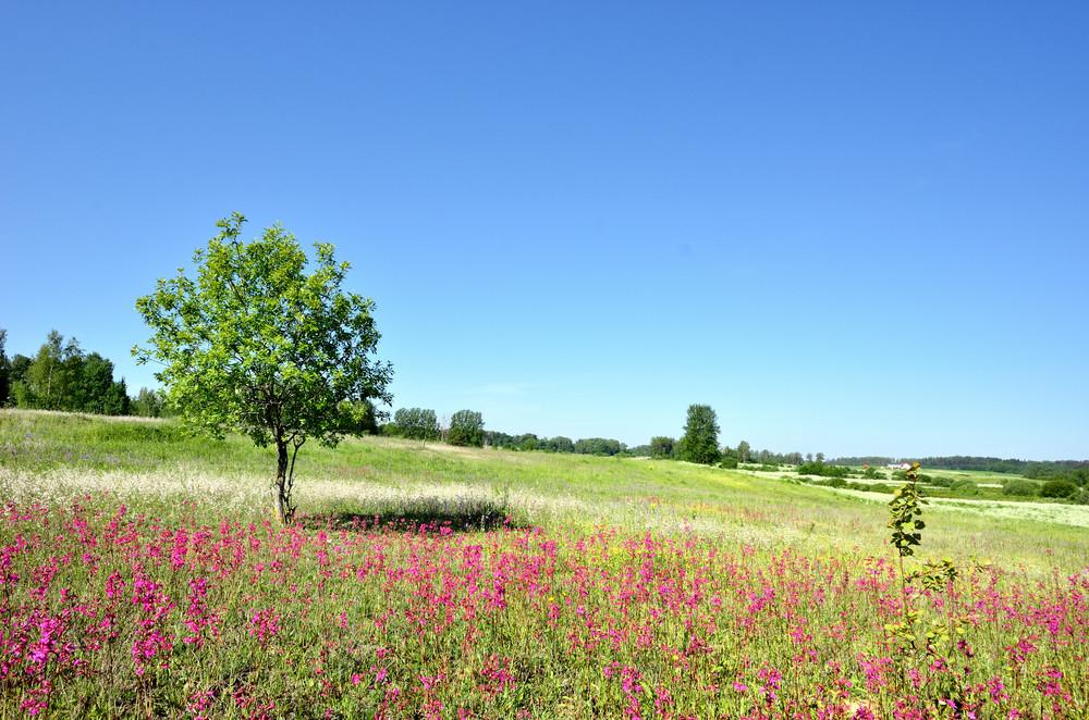 Classic Rural Landscape. Flower Field Against Blue Sky
