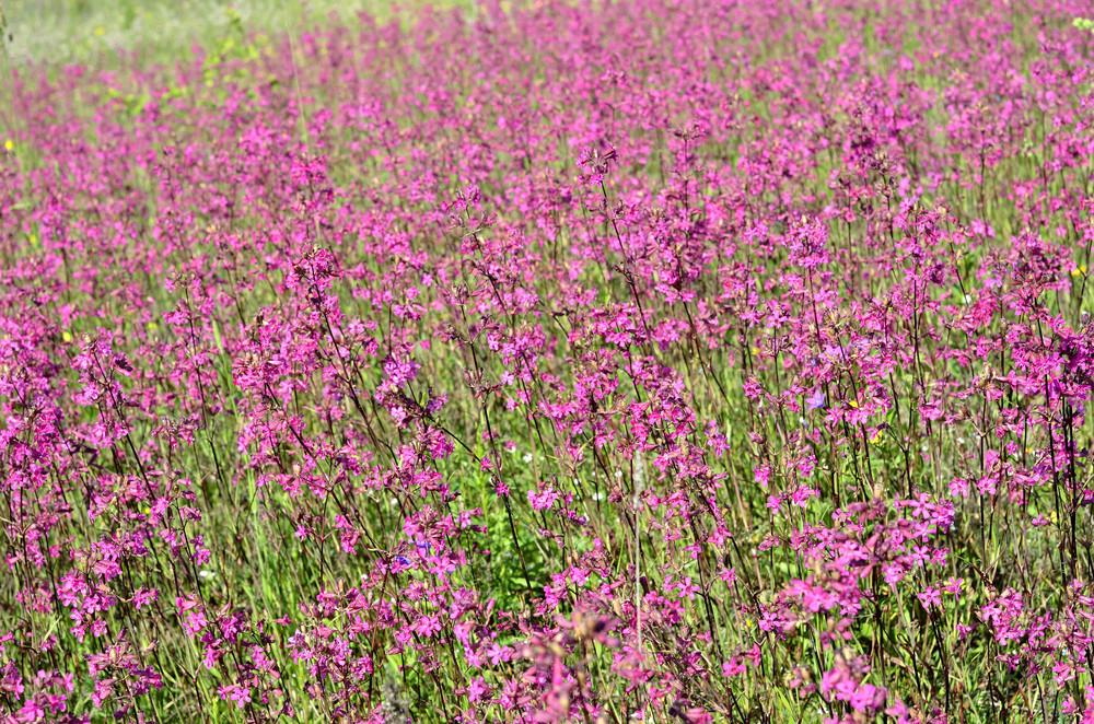 Flower Field Close-up