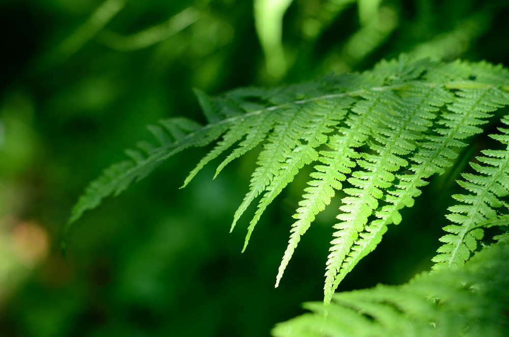 Fern Close-up In The Forest