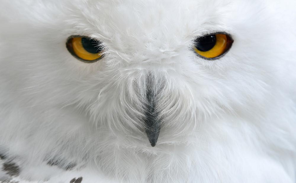 Branco Polar Owl Sentado em uma vara no jardim zoológico
