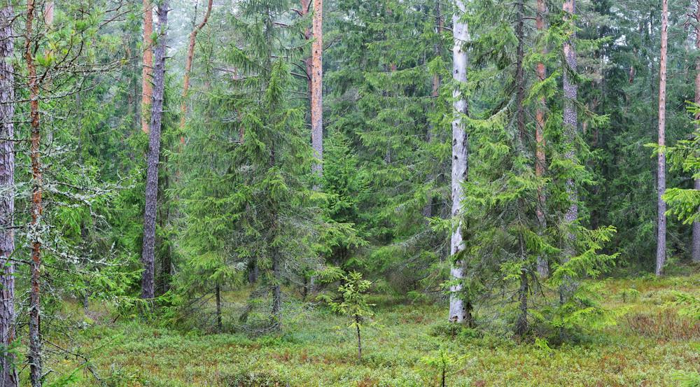 Dark Pine Forest Panorama