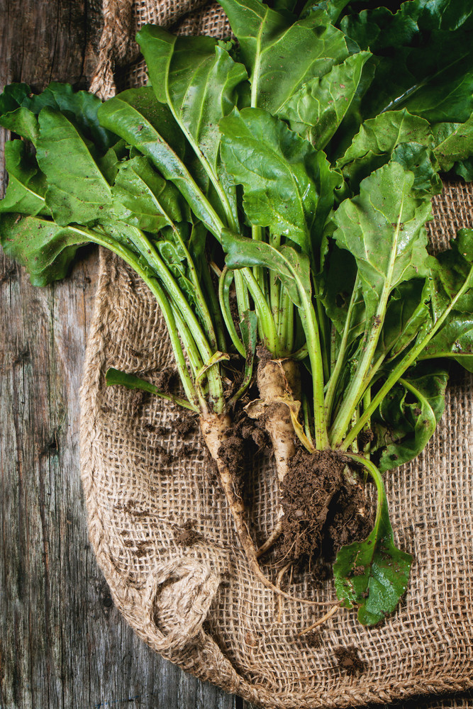 Bunch Of Young Sugar Beet Roots