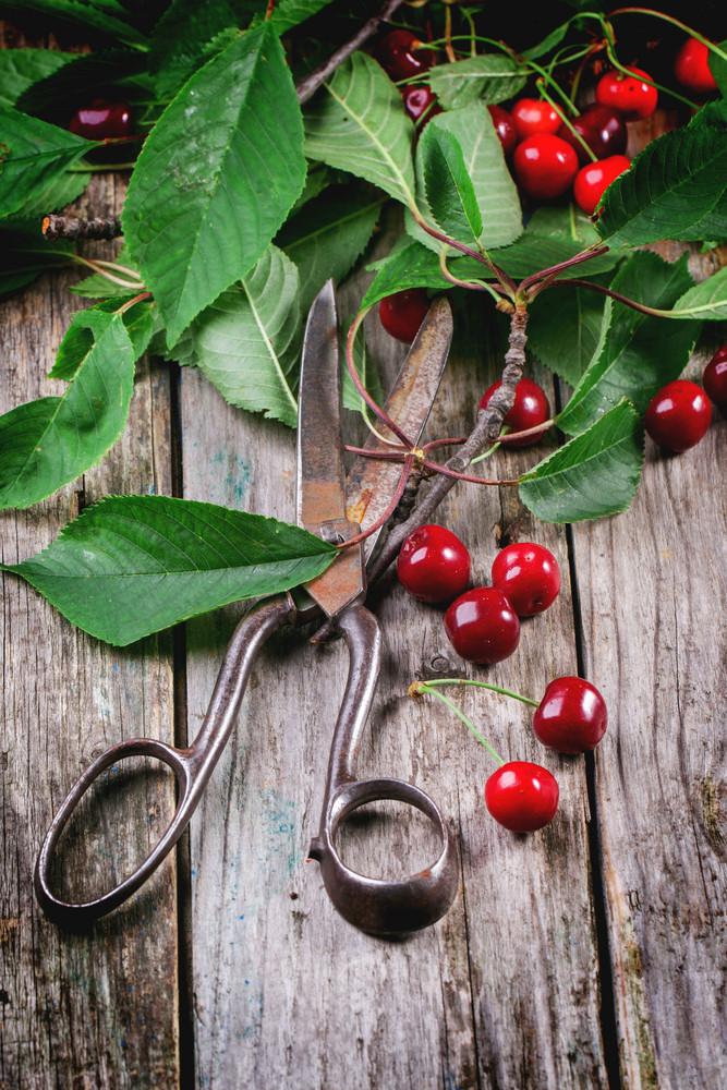 Bunch Of Cherry Tree With Scissors