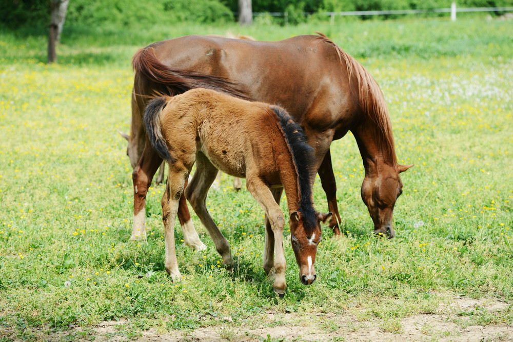 Foal and mare in a field