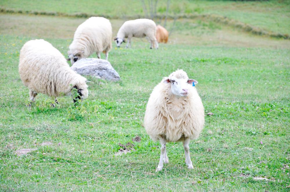 White sheeps on green ground