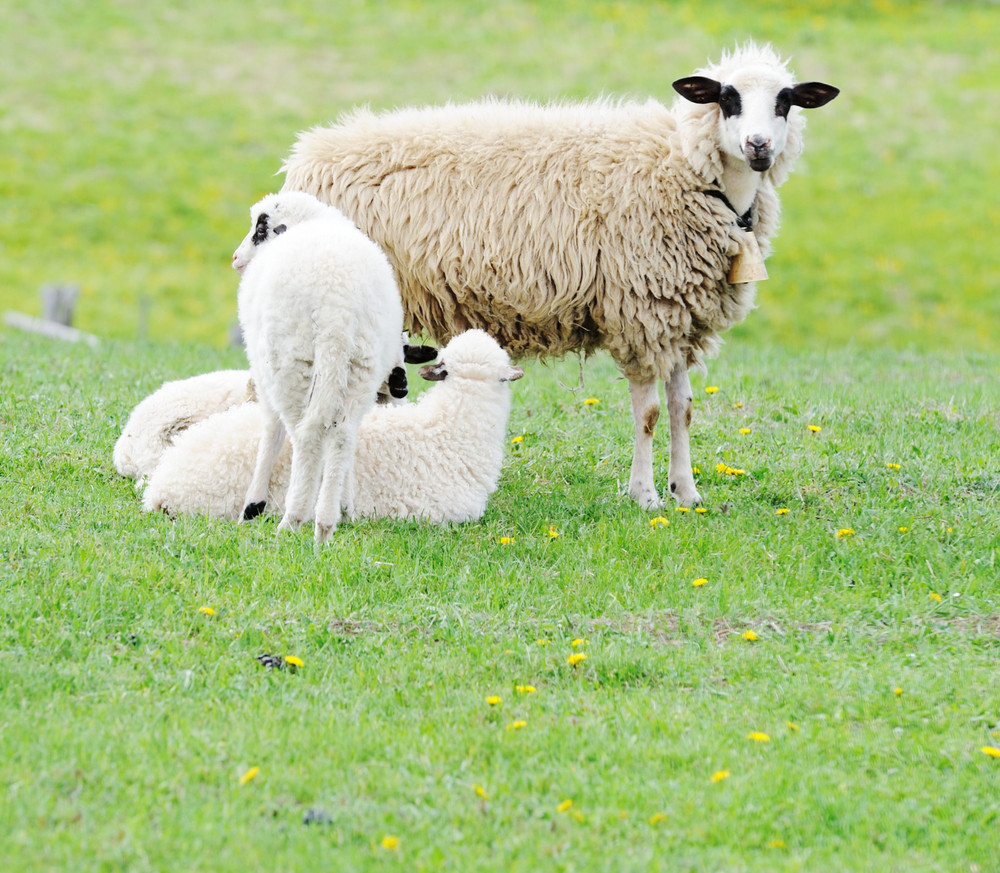 Sheep and two lambs