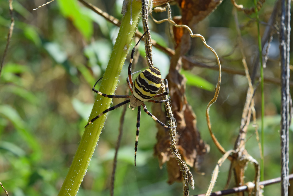 Argiopa Spider on the web Arachnid predator Spider crawling on the dry grass