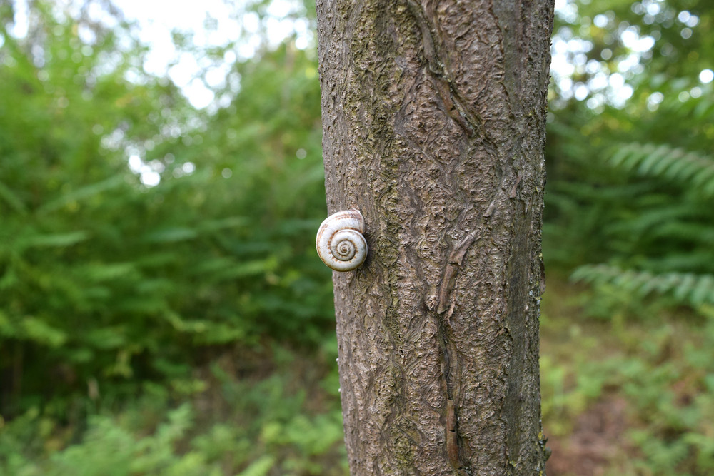 Conch snail on a tree trunk Land with clam shell