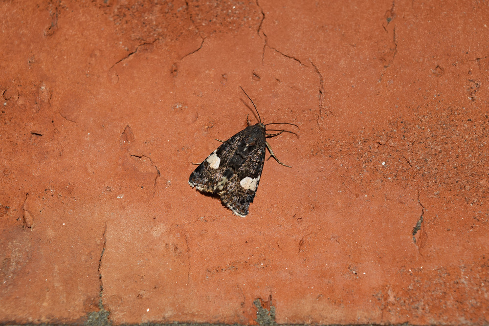 Owl sitting on a brick wall Night butterfly brown with white spots on the wings