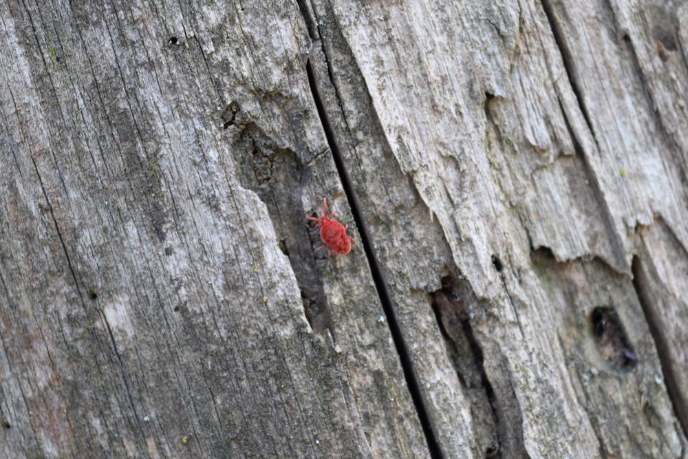 Trombidiidae on tree bark Spring trombidiidae in search of food