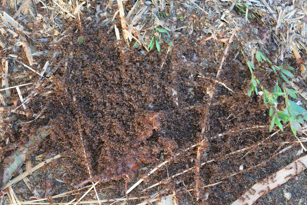 Colony of red ants small Spring outputs ants on the surface for mating