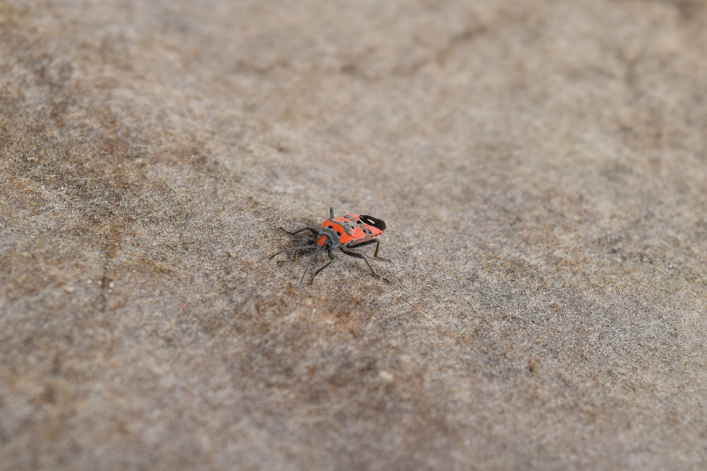 The image of red bugs in a native habitat Single red bug on the roofing material
