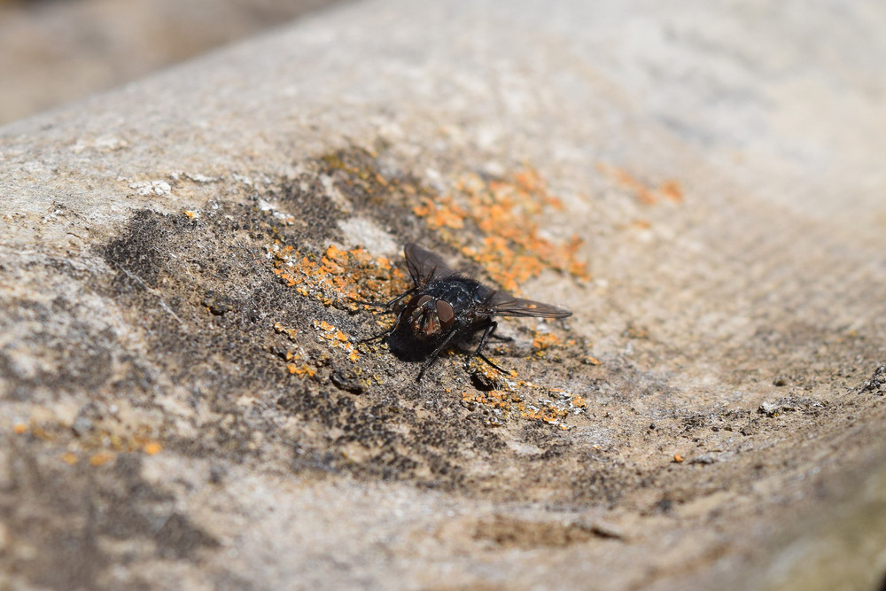 The big black fly sitting on old slate