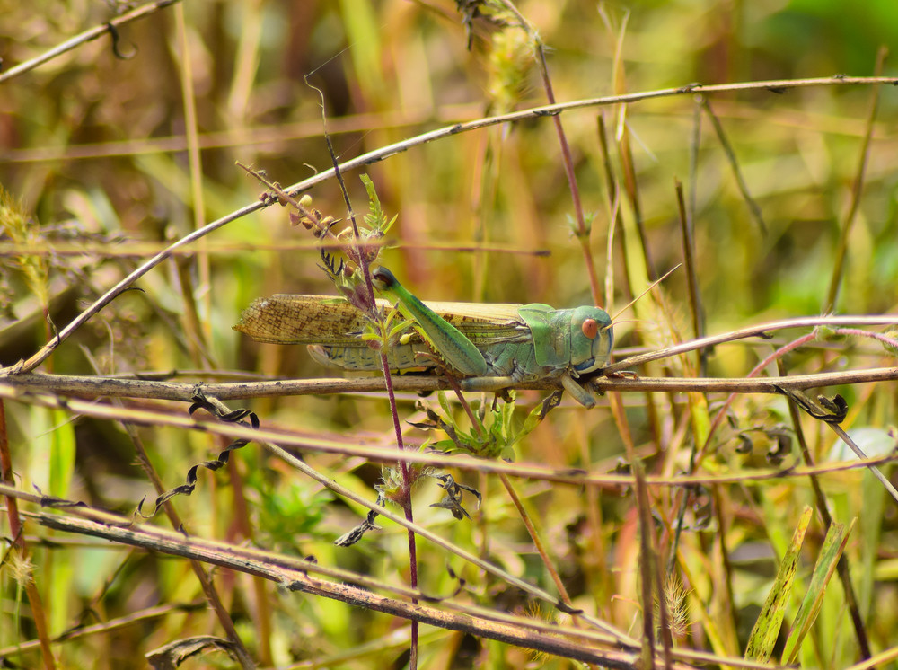 Migratory locust sits on ambrosia Orthoptera Insect