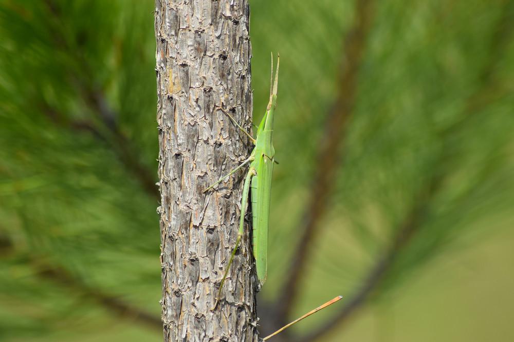 Green locusts