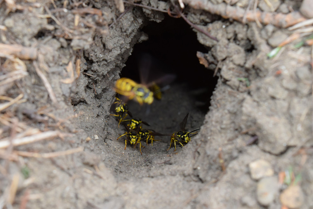 Log into the slot vespula vulgaris Wormhole leading to the hornet's nest in the ground Jack predatory wasps